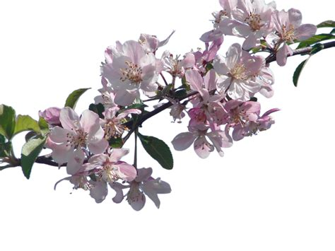 Y Branch Rucika D 4 cherry blossom branch png www pixshark images galleries with a bite