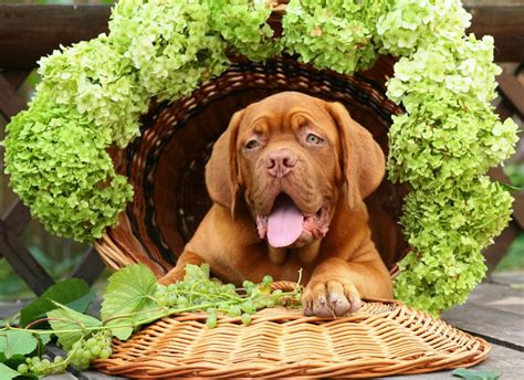 poison and dogs grape and raisin poisoning and toxicity in dogs pets4homes