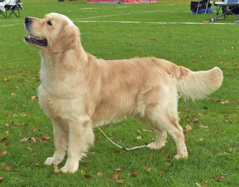 golden retriever till salu startsida brec s kennel golden retriever uppf 246