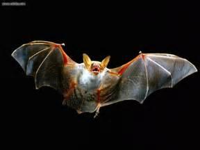 Bats In Animals Bat In Flight Picture Nr 18724