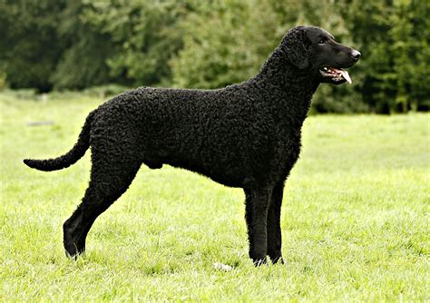 Curly Coated Retriever Pictures | Wallpapers9