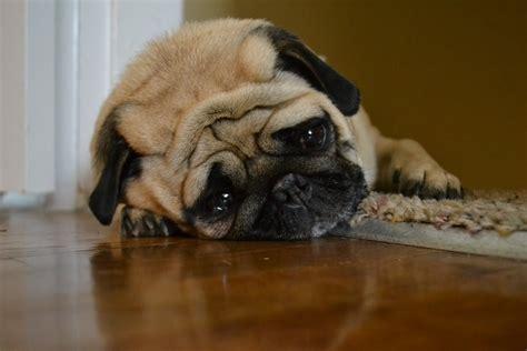 senior dog pooping in house dogalize il pet social network per il tuo cane e gatto