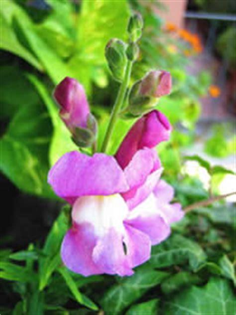 bocca di lupo fiore bocca di pianta decoartiva con fiori colorati molto