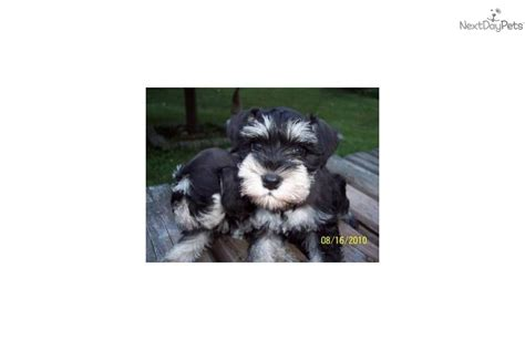 miniature schnauzer puppies for sale in ky schnauzer miniature puppy for sale near eastern kentucky kentucky 27c65338 b191