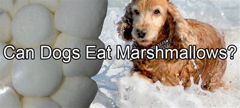 can dogs beets marshmallows pethority dogs