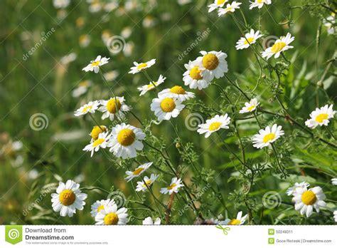 fiore della camomilla fiore della camomilla sul prato verde immagine stock