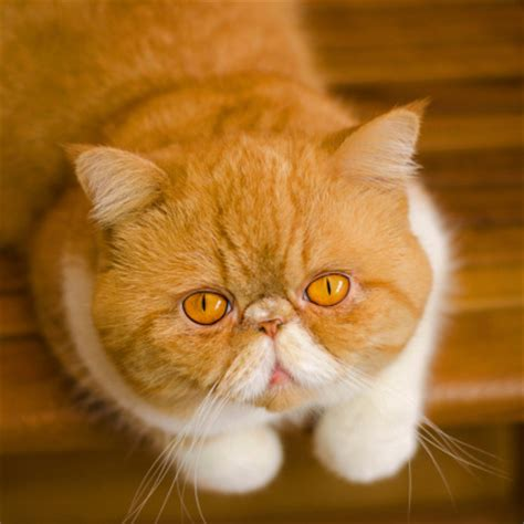 Facts About Persian Cats   Delightibles Gourmet Cat Treats