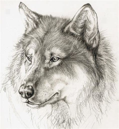 wolves drawings wolf by xchelseax92 on deviantart