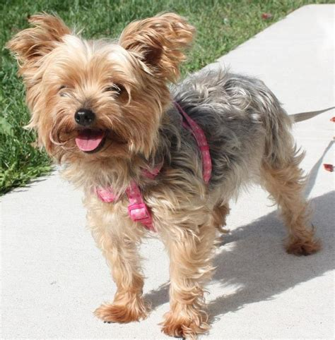 craigslist yorkies for free new jersey adopt a yorkie for free breeds picture