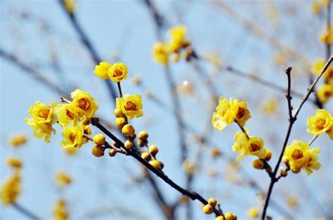 pianta fiori gialli profumati significato dei fiori il calicanto pollicegreen