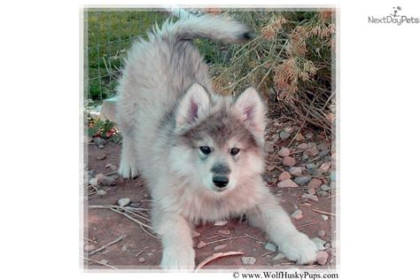 husky puppies for sale las vegas giants wolf hybrid puppy for sale near las vegas nevada ee6ff455 1791