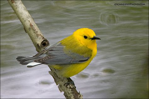 Prothonotary Search Photo Prothonotary Warbler Water