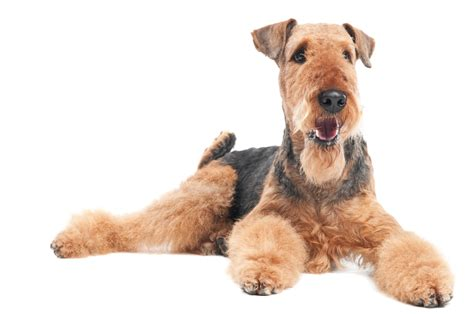 airedale terrier puppies airedale terrier