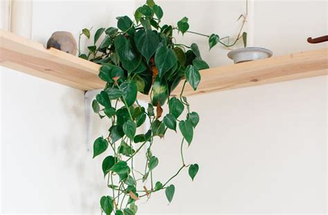 cute plant 8 super cute indoor plants to buy now brisbane the