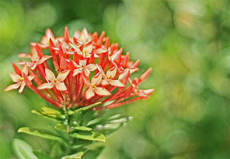 fungsi tumbuhan terkait tempat pagar hidup dynilara