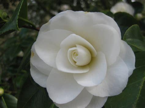 imagenes licras blancas camelias blancas im 225 genes y fotos