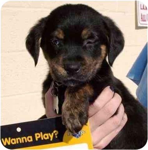 golden retriever rescue los angeles puppy pinar adopted puppy west los angeles ca golden retriever rottweiler mix