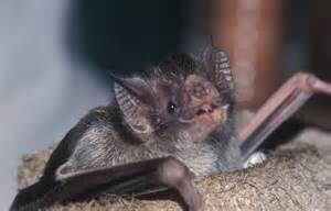 Blind Shark Facts Bumblebee Bat Flying Www Pixshark Com Images Galleries