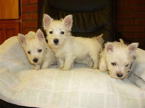free puppies az dogs arizona free classified ads