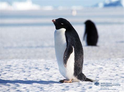 Penguin S penguin animal wildlife