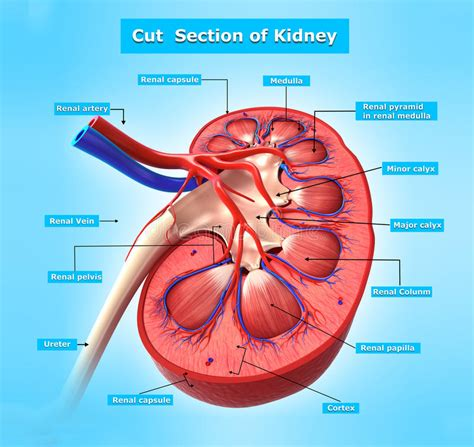cross section kidney anatomy of kidney cross section in blue stock illustration