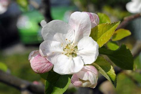 fiori di melo fiori melo fiori di piante fiori pianta melo