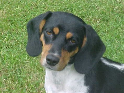 small adoption pin small dogs for adoption on