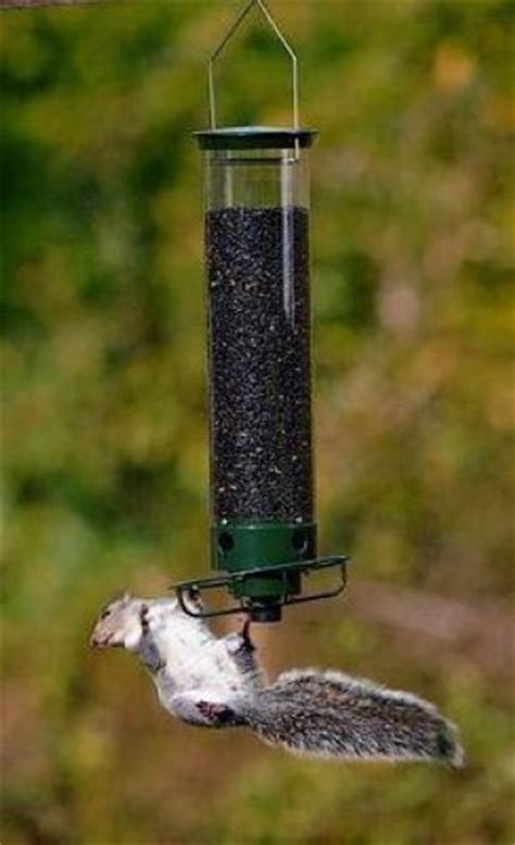 droll yankees yankee yf flipper squirrel proof birdfeeder