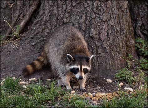 Raccoons In Backyard by A Raccoon And One Of Babies In Parents