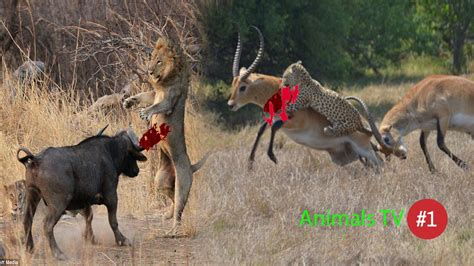 Deer Vs animal attacks 1 leopard vs deer attack