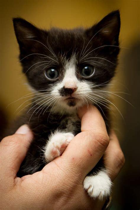 Baby In Tuxedo Meme - 25 best ideas about tuxedo kitten on pinterest cats