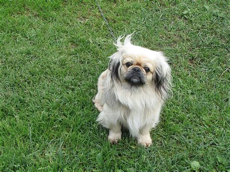 pekingese puppies price how much does pekingese cost howmuchisit org