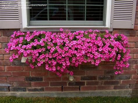 plantfiles pictures petunia supertunia petunia