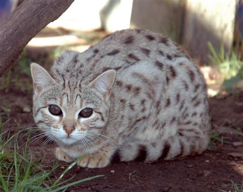 white bengal cat kittens 25 best ideas about white bengal cat on pinterest