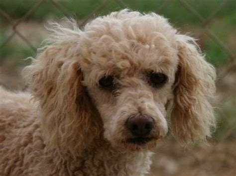 adoption nc mini poodle rescue nc