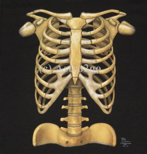 Skeleton L by Skeleton Bones Ribs X Anatomy Biology Science