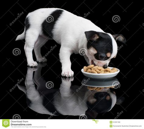 chihuahua puppy food puppy of chihuahua eats food stock photo image 31291180