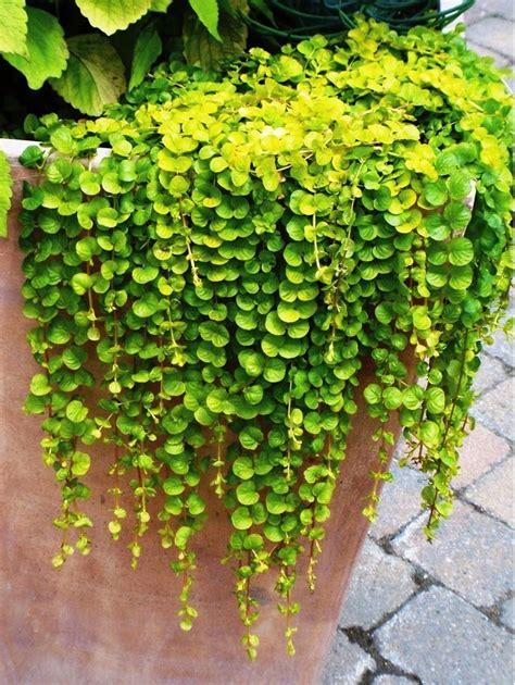 dichondra seeds greenmylife   garden