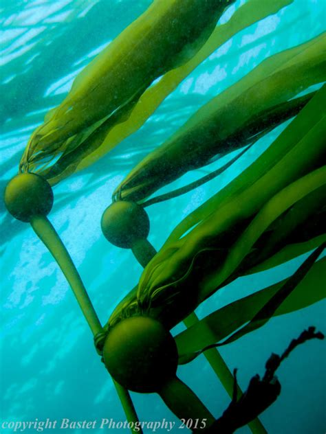 kelp beds rocky subtidal oregon conservation strategy