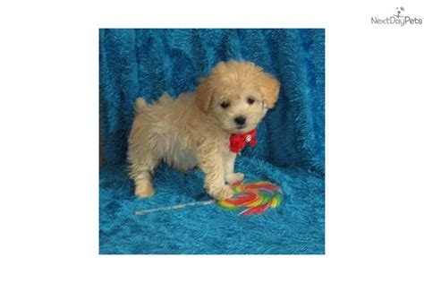 cockapoo puppies for sale in missouri cockapoo puppy for sale near kansas city missouri