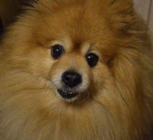 what of food do pomeranians eat pomeranian eats grass puppy and