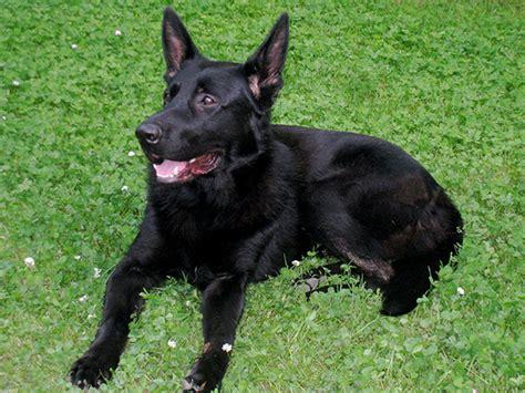 adopt a german shepherd puppy black german shepherd adoption