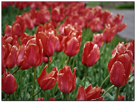 day  red tulips    monet painting