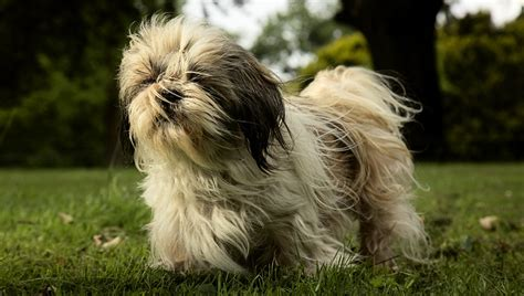 shih tzu span in human years the most lived breeds dogtime