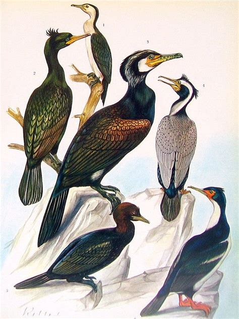 Prints Spotted In World by Bird Print Pied Cormorant Shag Cormorant