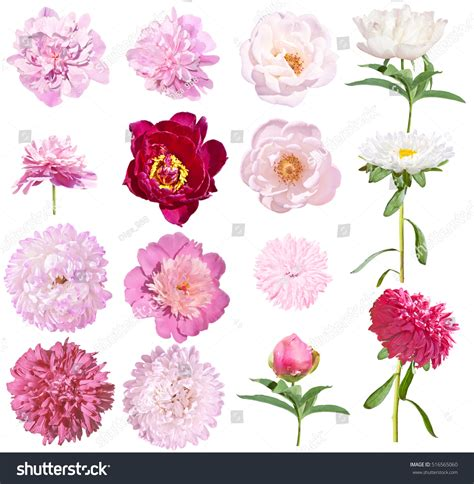 Set Kulot Aster Pink Atasan Pink 1 peonies asters set flowers isolated on stock photo 516565060