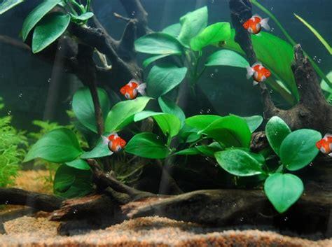 goldfish themes for windows 7 fish moving wallpaper wallpapersafari