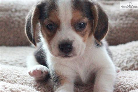 beagle puppies for sale in pa cheap beagle breeders links breeds picture