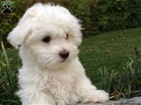 animal shelter puppies for sale maltipoo puppies for sale maltipoo rescue news