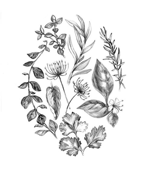 herb garden coloring pages herbs drawing www pixshark com images galleries with a